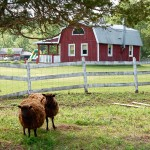 Wolly sheet and the Red Barn 150x150 Farm animals and pets