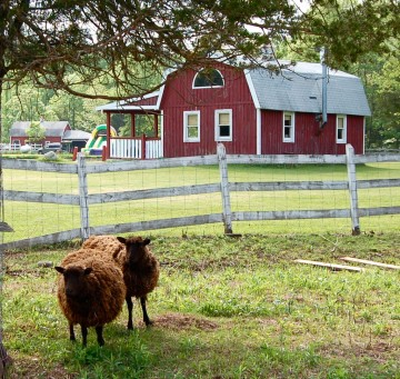 Wooly sheep at the red barn - The Kaaterskill