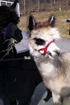 alpacas at the Kaateskill 240x360 Farm animals and pets